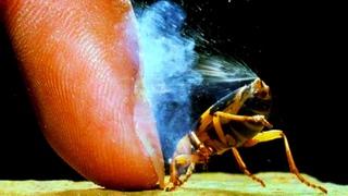 ЖУК БОМБАРДИР СТРЕЛЯЕТ В ЗАМЕДЛЕНИИ, меткий стрелок мира насекомых!!!