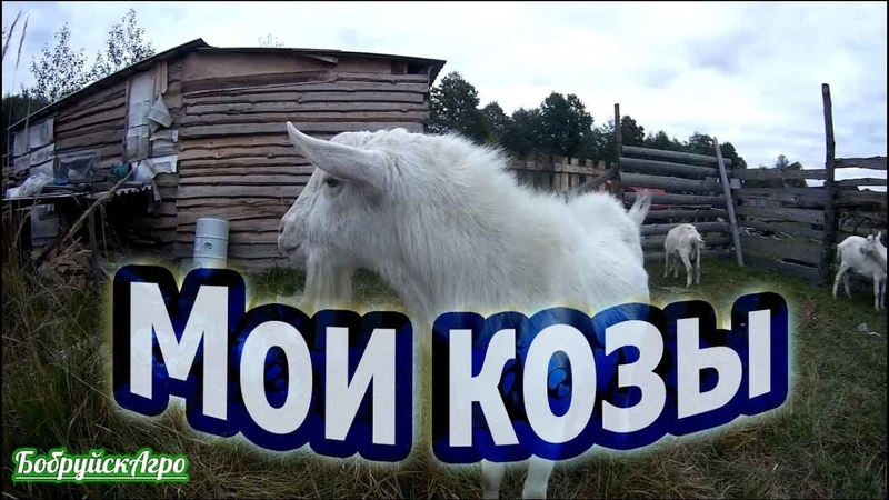Про коз сарай и навоз