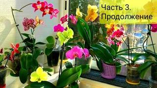 Уникальная коллекция Орхидей, Часть 3: JOY Angel Voice, Sogo Grape, Mandala, Santa Claus, Wild peach