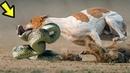 Битвы Собак, от Которых Мурашки по Коже! Топ 10
