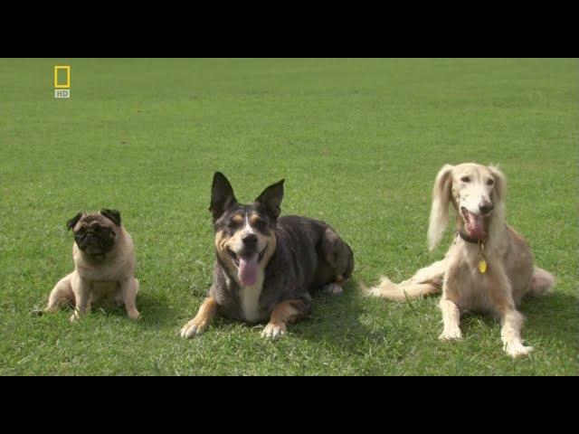 У каких собак лучшее зрение Веселая наука серия 7 Документальные фильмы National Geographic