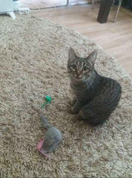Потерялась кошка, на Дзержинского 8, выпрыгнула из окна....