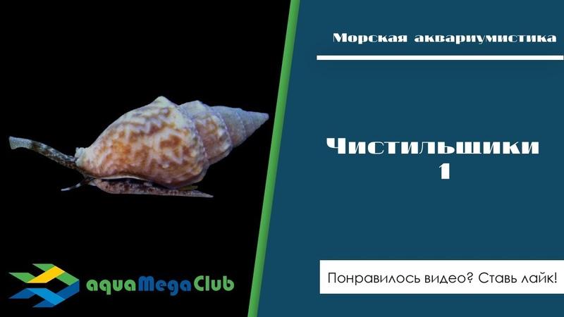 Чистильщики часть 1 морские улитки нассариус стромбус